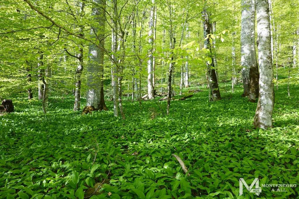 Весенний лес Биоградской горы