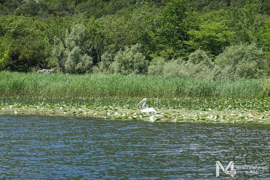 Пеликан на реке Црноевича