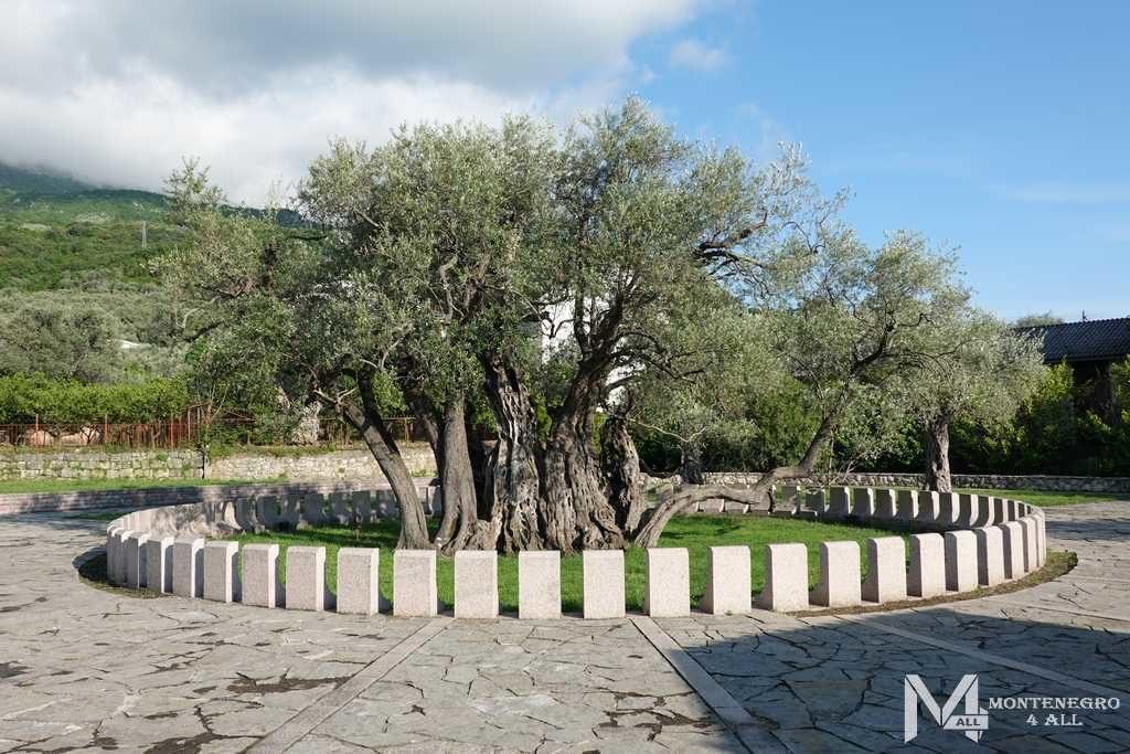 Старая олива города Бар