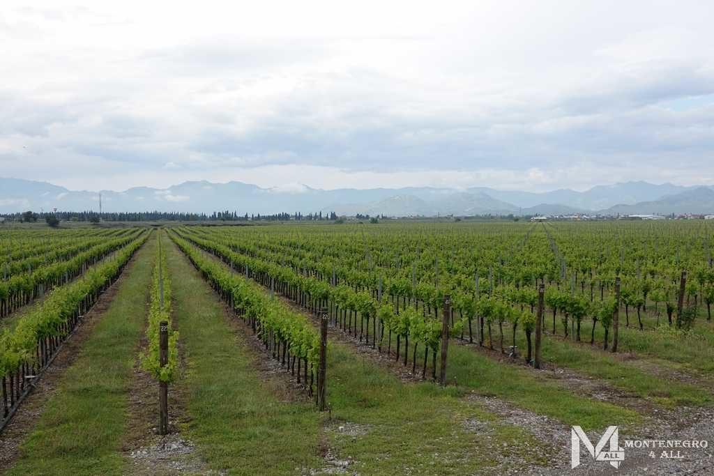 Виноградные плантации рядом с Подгорицей